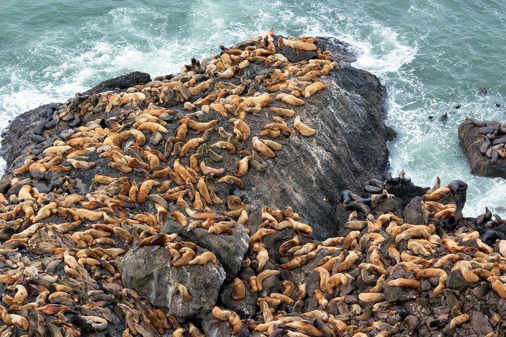 Sea Lion colony at Sea Lion Caves