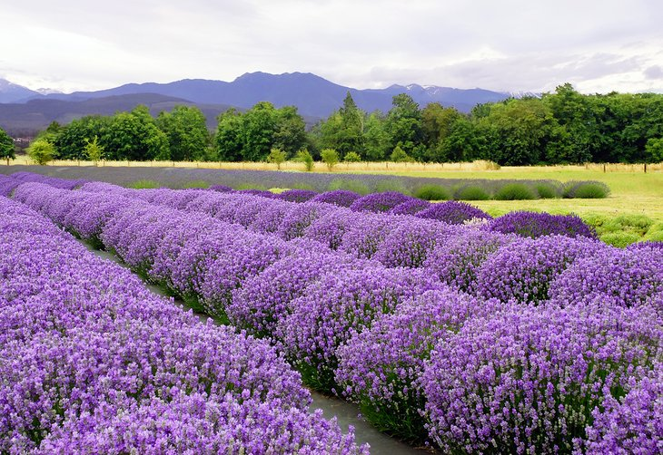 Lavender farm in Sequim
