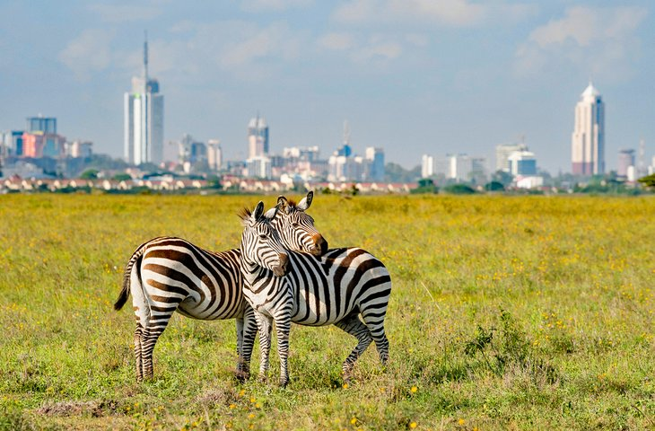 Zebras in Nairobi National Park with the Nairobi skyline in the distance