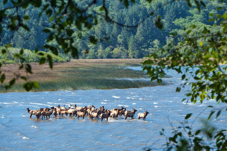Elk in Stone Lagoon at Humboldt Lagoons State Park
