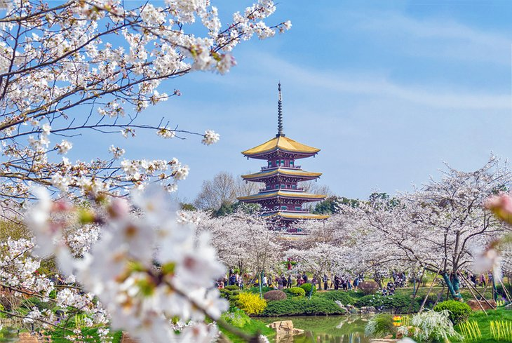 Cherry blossoms blooming at East Lake in Wuhan