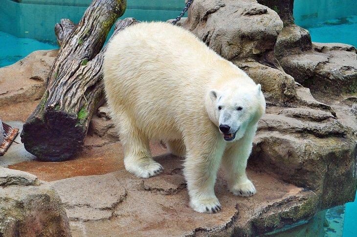 Oso polar en el zoológico de Lincoln Park