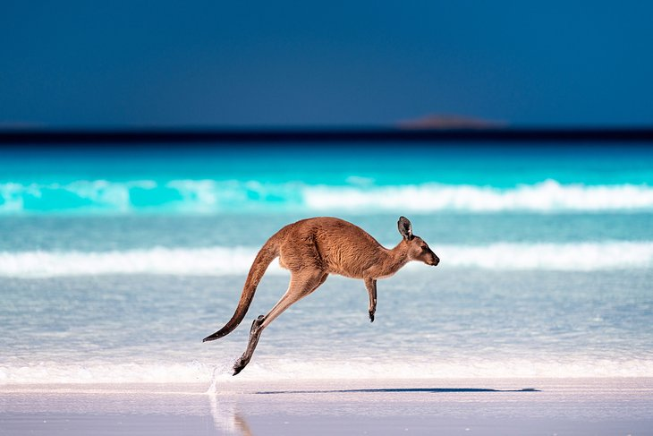 Kangaroo at Lucky Bay, Cape Le Grand National Park, Esperance, Western Australia