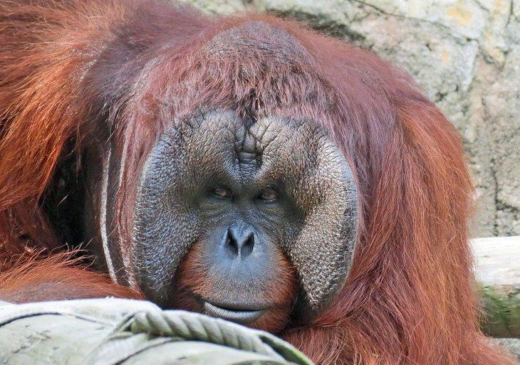 Orangután en el parque zoológico de Jackson