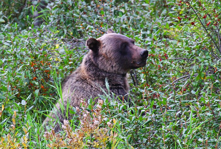 Grizzly bear in Peter Lougheed Provincial Park