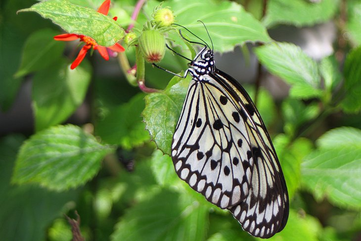 Butterflies of all shapes and sizes fly through the aviaries.