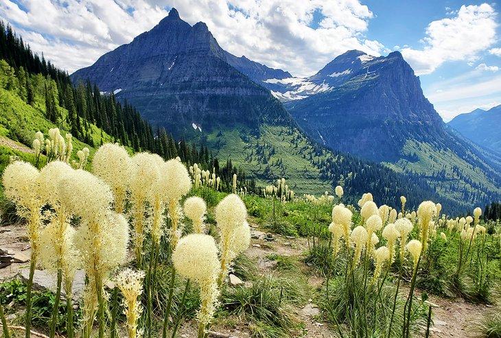Bear-grass en el Parque Nacional Glacier