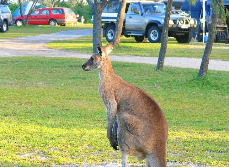 Canguro en el camping Noosa North Shore Beach