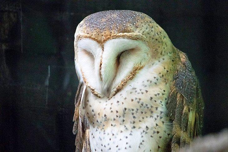 Búho en el santuario de aves silvestres de Laura Quinn