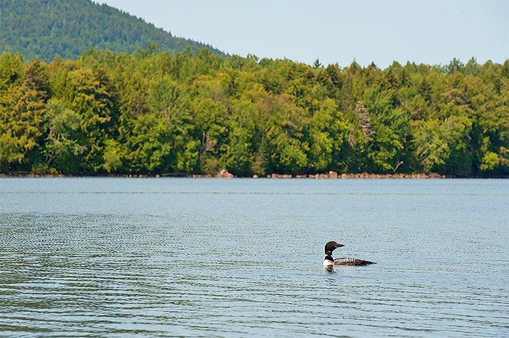 Loon común en el lago Umbagog