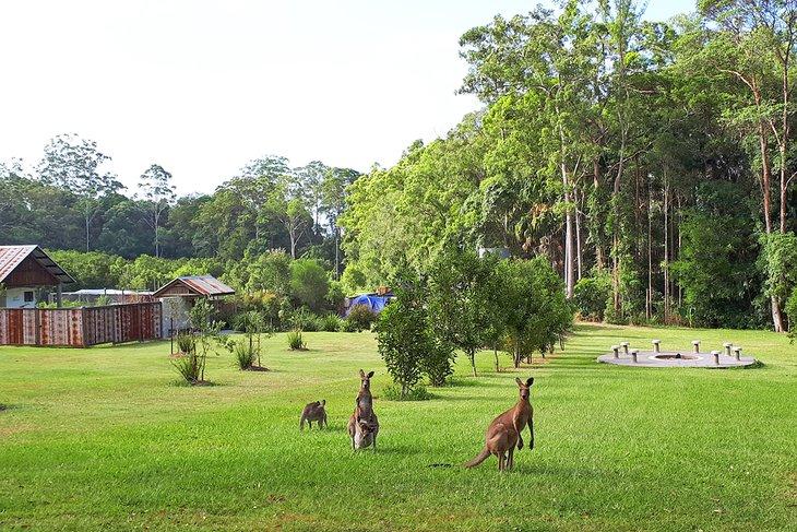 Canguros en Hidden Valley @ Gro Mad Plantations