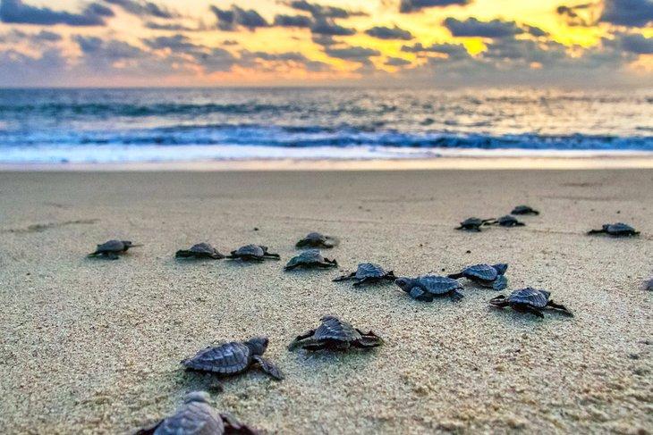 Tortugas bebés regresan al mar en Puerto Escondido