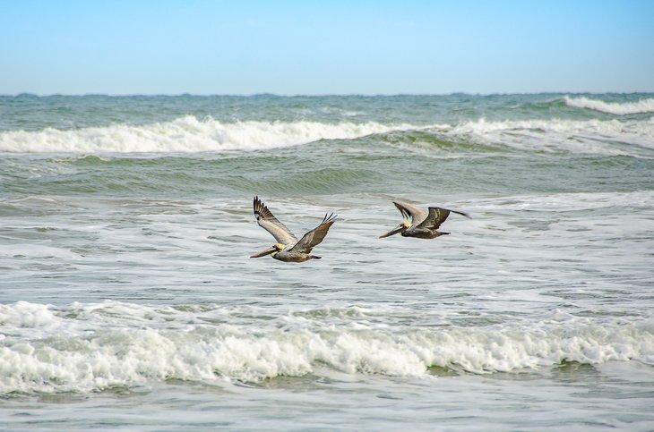 Pelícanos marrones barren las olas.