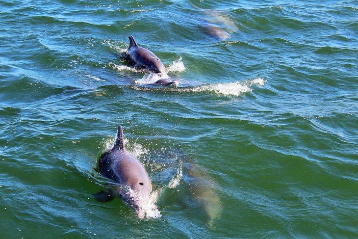 Delfines nariz de botella en South Padre Island