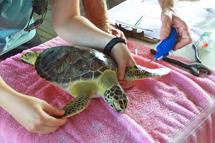 Marcando una tortuga en Sea Turtle, Inc.