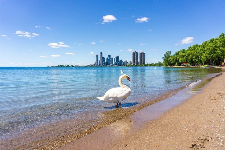 Swan en la playa de Sunnyside